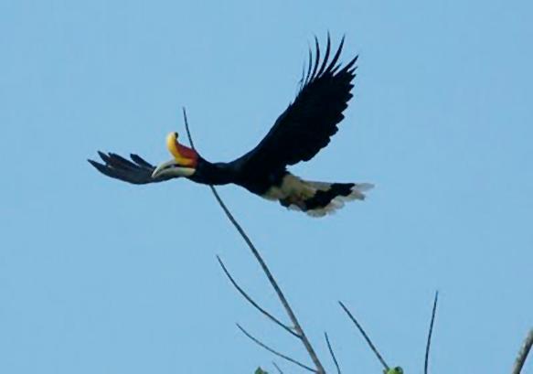 Gaya Terbang Burung Enggang Gading