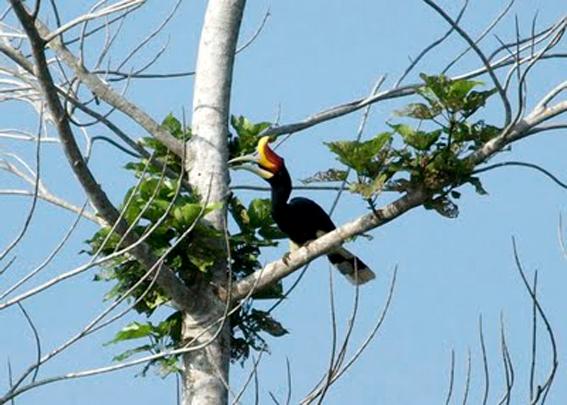 Burung Enggang Gading Terancam Punah