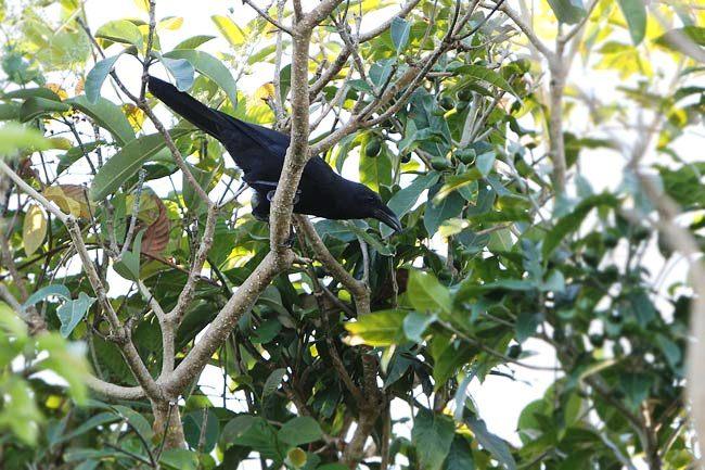 Gagak Flores - Corvus florensis