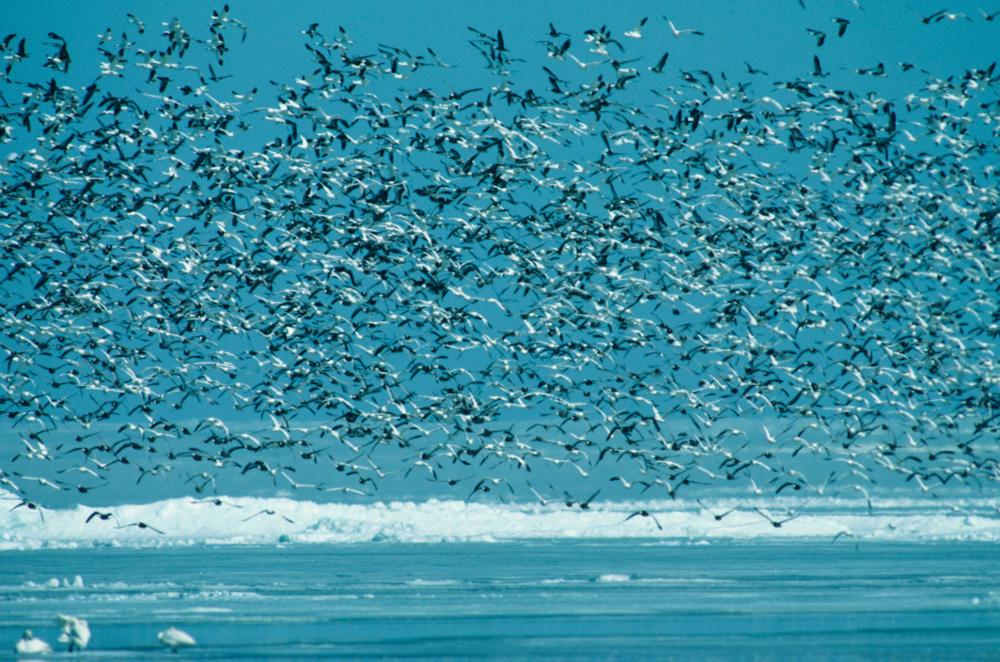 ilustrasi hujan burung