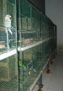 Kandang Produksi Lovebird