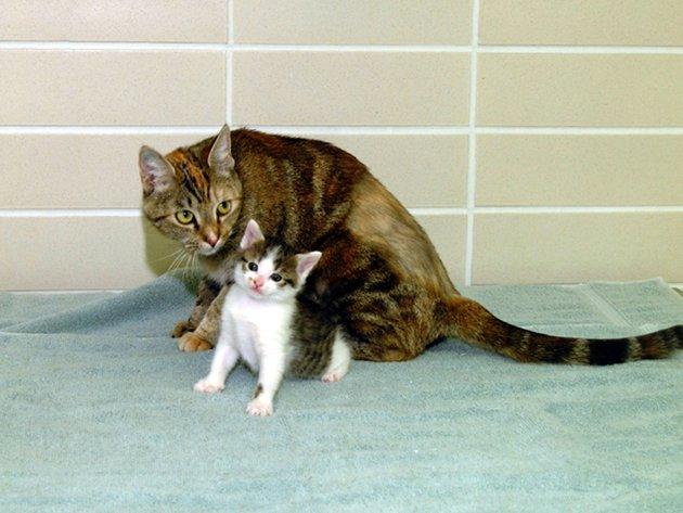 Kucing pertama dunia yang merupakan hasil kloning, CC, saat usia tujuh minggu dengan Allie, ibu tabungnya. Foto ini diambil pada 22 Desember 2001.