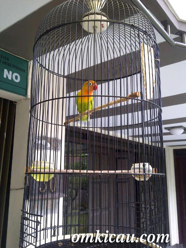 lovebird kuncung