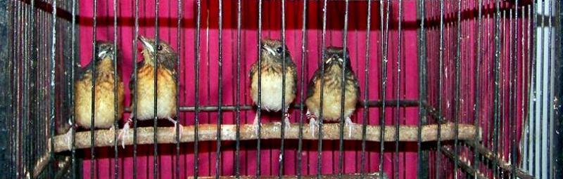 Murai Batu TnT Bird Farm