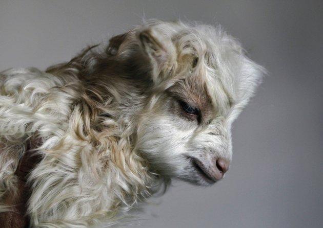 Noori seekor kambing Pashmina hasil kloning