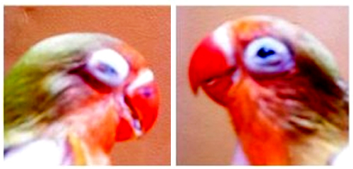 Snot / Bengkak Mata pada Burung