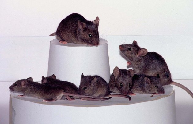 Tikus kloning