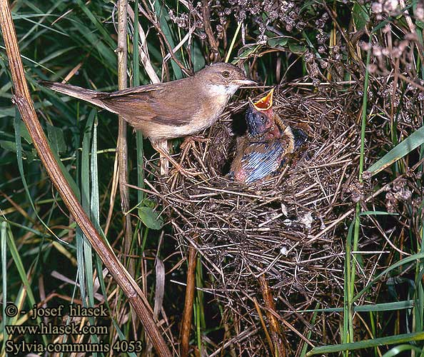 Whitethroat - betina dan anak