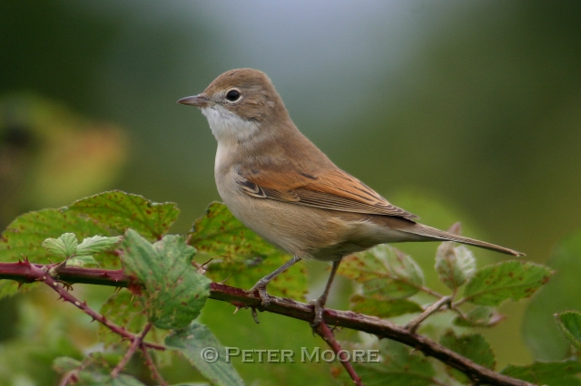 Whitethroat - betina