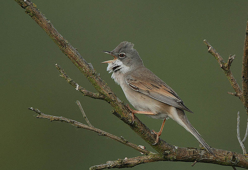 Whitethroat - jantan5