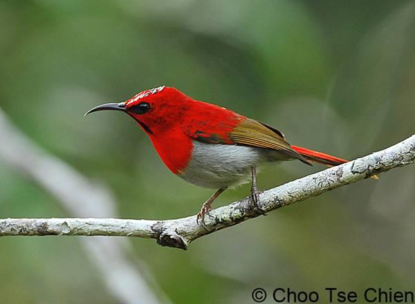 kolibri jawa
