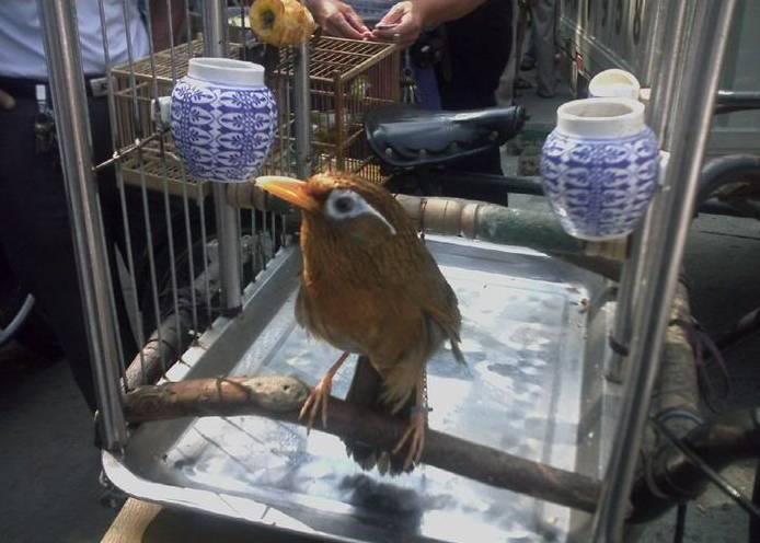 hwamei di pasar burung di china