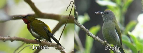 kolibri gunung jantan dan betina