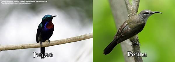 kolibri ninja jantan dan betina