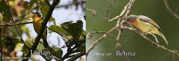 kolibri wulung jantan dan betina