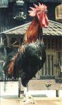 Ayam pelung5
