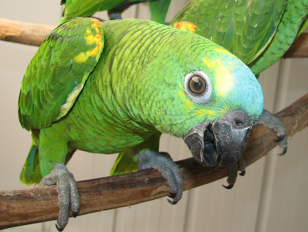 blue-fronted-amazon-parrot-01