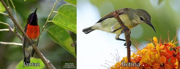 jantan dan betina kolibri tasik