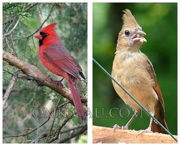 Gambar burung angry bird asli - jantan betina