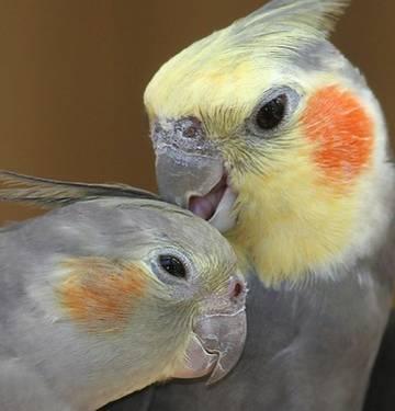 cockatiel atau parkit australia