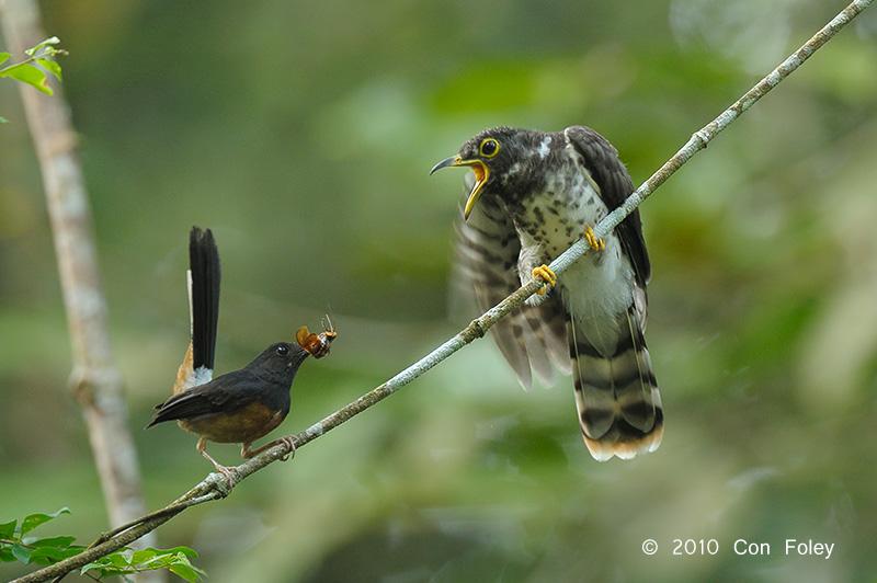 Cuckoo-Malaysian-Hawk-juv-+-shama-DS3_3642.pbase_