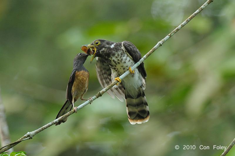 Cuckoo-Malaysian-Hawk-juv-+-shama-DS3_3643.pbase_