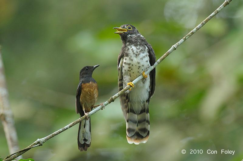 Cuckoo-Malaysian-Hawk-juv-+-shama-DS3_3661.pbase_