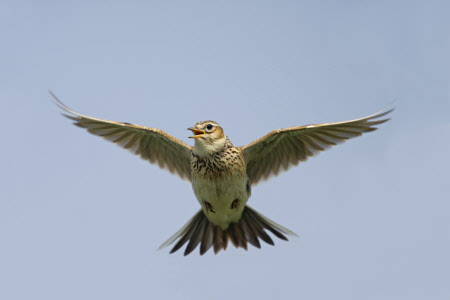 Burung branjangan melayang
