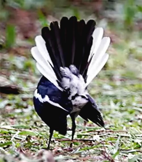 ADEGAN 2: Kacer mengembangkan ekor hingga membentuk kipas, sambil memamerkan pantatnya.