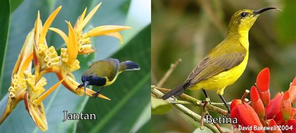 kolibri sriganti jantan dan betina