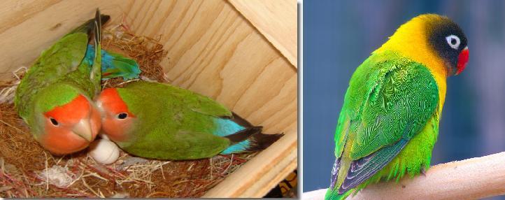 LOVEBIRD NON-KLEP (KIRI) DAN LOVEBIRD KLEP