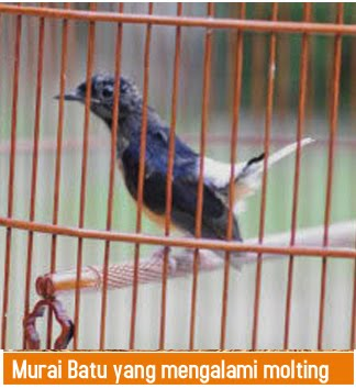 mb molting