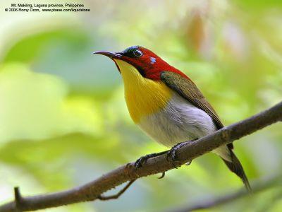 Pengenalan Dan Perawatan Burung Madu Terpopular Di