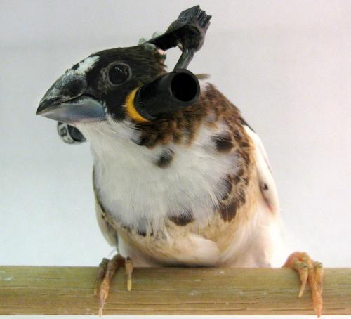 Pipit bengala yang dilengkapi dengan headphone untuk meneliti bagaimana burung belajar menyanyi . credit: Sam Sober