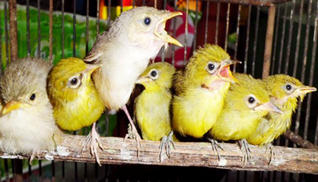 7 Ciri Pembeda Burung Pleci Jantan Dan Betina Om Kicau