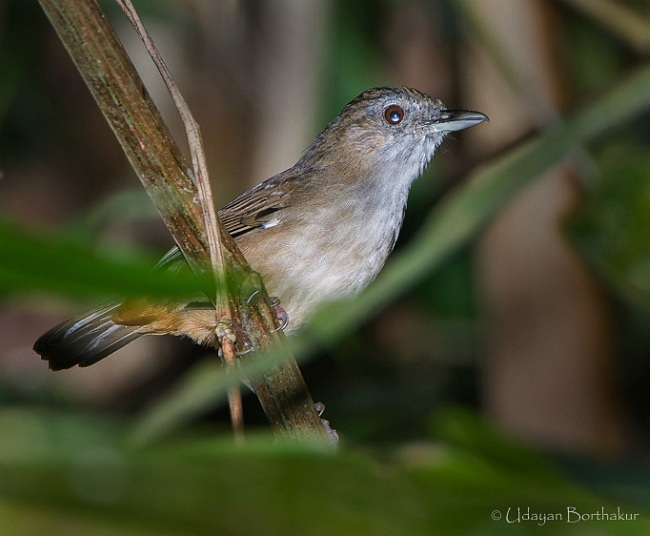 SPOT-THROATED-BABBLER