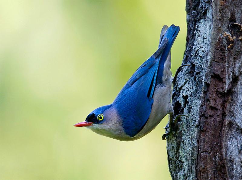 Burung rambatan di alam bebas.