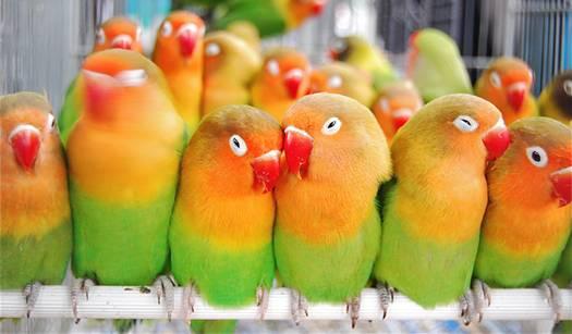 fischerlovebirds