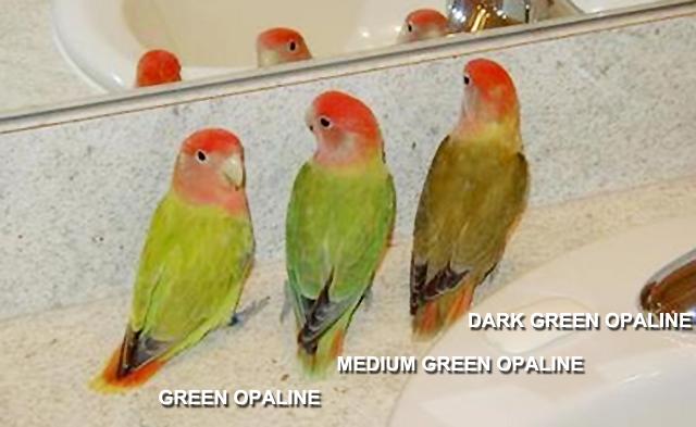 DARI GREEN OPALINE BISA DIKEMBANGKAN MENJADI MEDIUM GREEN DAN DARK GREEN OPALINE
