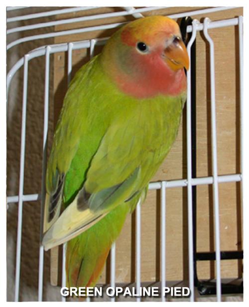 green-opaline-pied