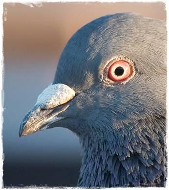 lubang hidung / nares burung merpati