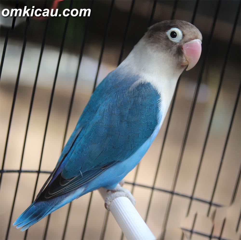 Gambar Kata Lucu Burung Lovebird Terbaru DP BBM Lucu Untuk Hari Ini