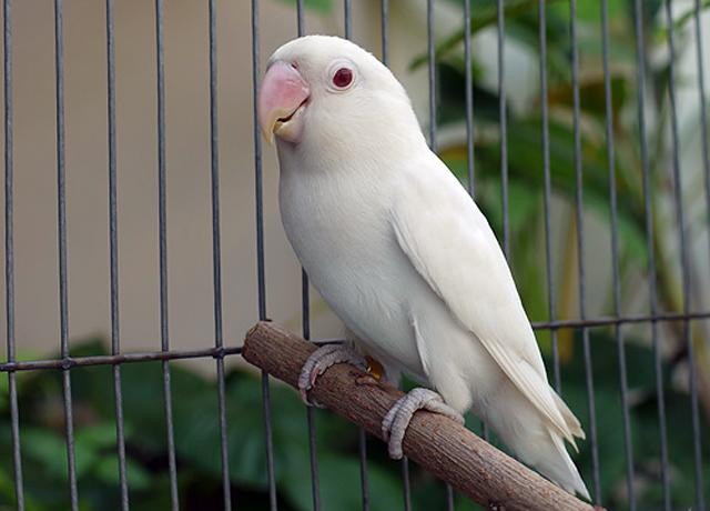 LOVEBIRD ALBINO JUSTRU BISA DIRANCANG SEJAK AWAL DAN KINI SEDANG NGETREN. DAN