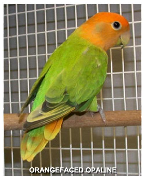 orangefaced-opaline