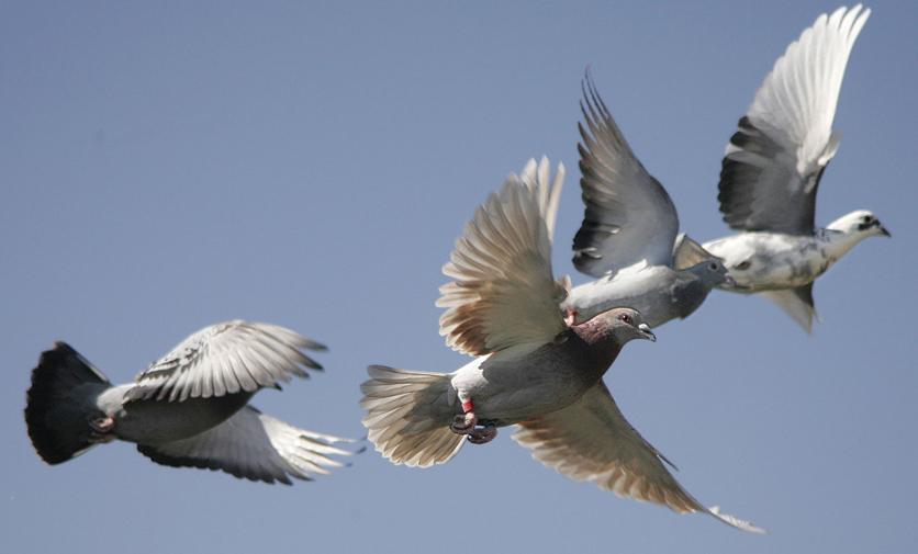 Burung merpati