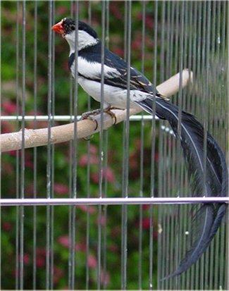 Burung pin-tailed whydah
