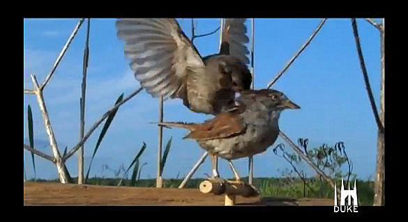 burung gereja versus burung robot
