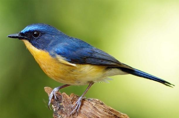 Burung tledekan