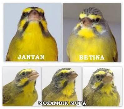 BEDA JANTAN DAN BETINA SERTA MOZAMBIK MUDA