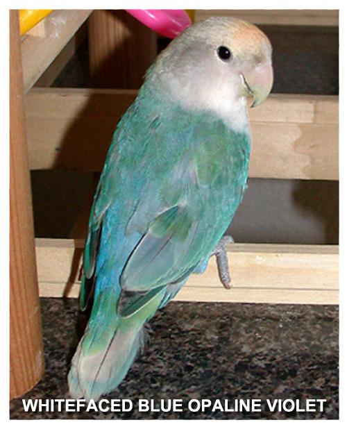 whitefaced-blue-opaline-violet